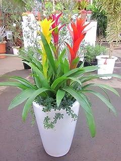 グズマニア 寄せ植え 白陶器鉢 観葉植物