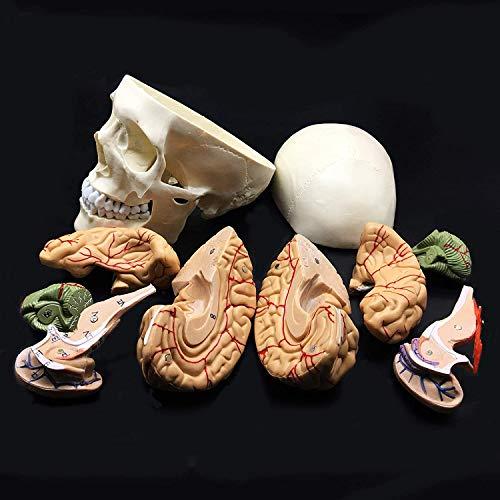 8-Parte de tamaño natural Cráneo con Cerebro Modelo anatómico anatomía de visualización Ciencia Estudio Aula de Docencia Médica Modelo 8.3x 5.9 X 7.5