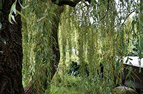 Trauerweide 80-100cm - Salix alba