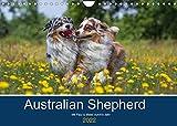 Australian Shepherd 2022 (Wandkalender 2022 DIN A4 quer)