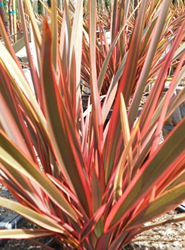 Pink Stripe New Zealand Flax (f1 Hybrid) 10 Seeds