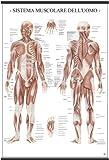belletti ms37pl poster scientifico belletti, 67x100 cm, sistema muscolare dell'uomo
