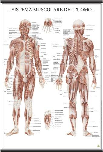 Il Sistema muscolare dell'uomo