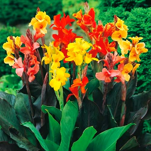 Canna Lily Seeds - Tropical Colors Mixed Cana Lily Cannas Seeds (10 Seeds)