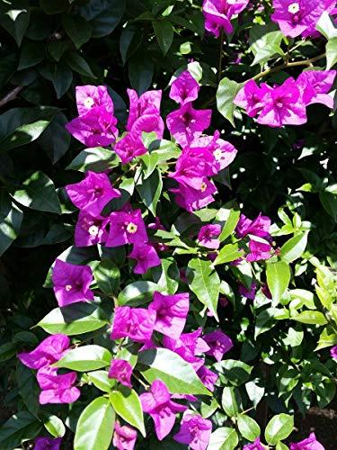 Shopmeeko Meistverkaufte 50 Stück Bunte Bougainvillea Spectabilis Willd Pflanzen Bonsai Pflanzen Blumenpflanzen Garten Mehrjährige seltene Blumen Pot: Army Green