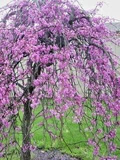 20 Weeping Covey Lavender Twist Redbud Seeds - Cersis Canadensis
