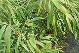 Fargesia murieliae 'Rufa' - Bamboo Clump