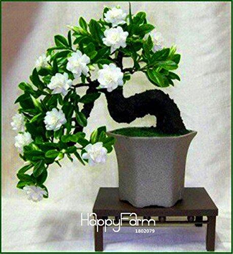 Time-Limit100 Pcs Graines Gardenia (Cape Jasmine) -DIY jardin Bonsai pot, odeur incroyable et de belles fleurs pour la chambre, # MW