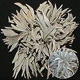 100pcs California White Sage Semillas Sacred Salvia Apiana Ceremonial Aromatics