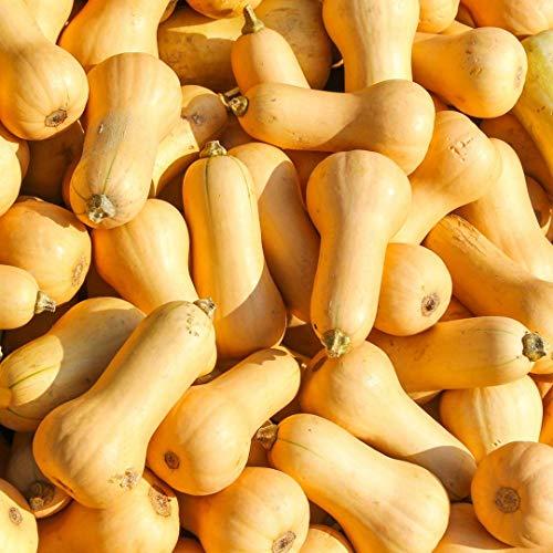 Samen für ca. 10 Pflanzen Waltham Butternut Kürbis - beliebter Speisekürbis, nussiges Aroma