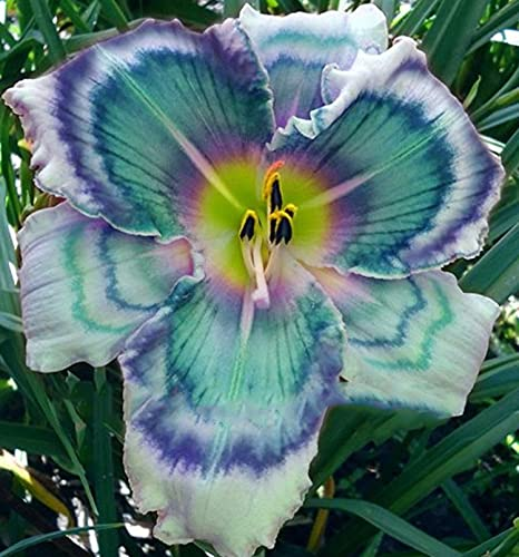Taglilien Zwiebeln,Für Gärten und Topfpflanzen,Gartenblumen,Taglilie Little Bumble Bee - Hemerocallis Cultorum,Seltene Pflanzen-5 Zwiebeln