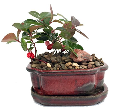 Wintergreen Bonsai with Berries - Teaberry - Gaultheria - Aromatic Leaves