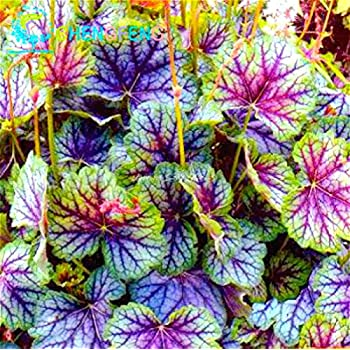 100Pcs Coleus Flower Seeds Rare 4 Kinds Color Perennial Bonsai Dragon Plant Home
