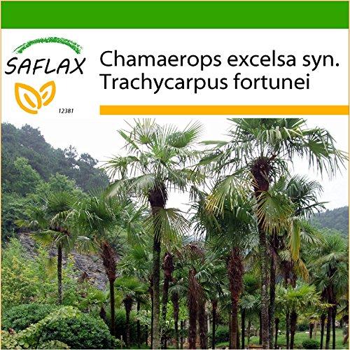 SAFLAX - Hanfpalme - 10 Samen - Mit keimfreiem Anzuchtsubstrat - Chamaerops excelsa