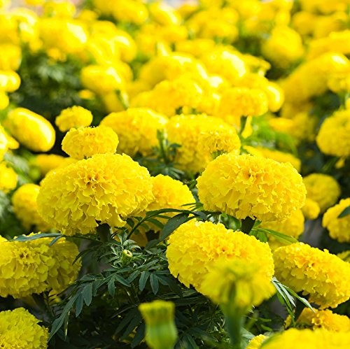 Marigold Lemon Drop Graines - ?illet d'Inde