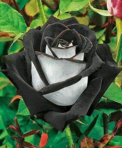(Noir et blanc * Ambizu *) 200 graines Chine Rare noir + blanc Graines Fleur Rose (Noir et blanc 200)