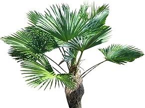 WINDMILL PALM Trachycarpus fortunii cold hardy 50 seeds