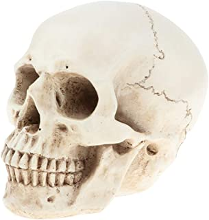 MagiDeal Lifesize Human Head Skull Skeleton Model Anatomical Reference for Artists