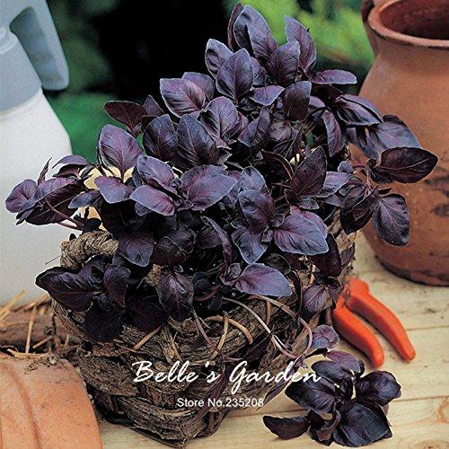 Graines de basilic pourpre 50pcs Basil « Red feuillues » Plantes demi-Annuelle Herb Graines de fleurs Graines Bonsai jardin usine de bricolage
