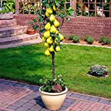 LOadSEcr's Garden, 30/60Pcs Organic Pear Tree Seed Sweet Delicious Fruit Bonsai Non-GMO Open Pollinated Plants Seeds, Yard Office Home Decoration - 30pcs Pear Tree Seeds