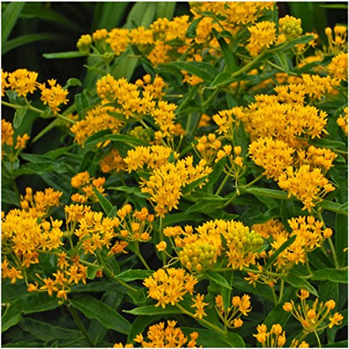 Butterfly Milkweed Seed Packet Duo (Asclepias tuberosa) Open Pollinated Seeds by Seed Needs