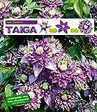 BALDUR Garten Gefüllte Clematis Taiga® 1 Pflanze Waldrebe winterhart Klematis mehrjährige blühende Kletterpflanzen