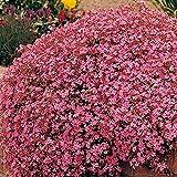 Keland Garten - 100pcs Raritäten rosa Kissen Seifenkraut Bodendecker seltene Steingartenpflanze,...
