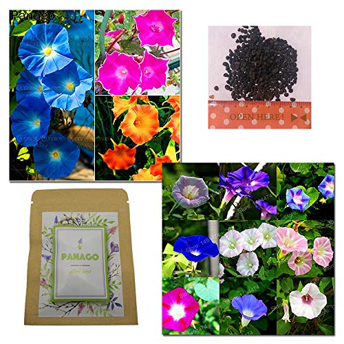 500+ Morning Glory'Crazy Mixture' (Rainbow Colors) Seeds for Garden Planting, Non-GMO Seeds by Panago Seeds