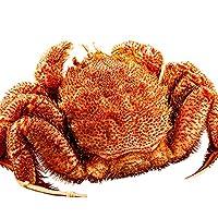 ◇巨大サイズ◇ 極上ボイル 毛ガニ 蟹味噌たっぷりの特大品 最高ランク 北海道産 毛蟹 約1kg