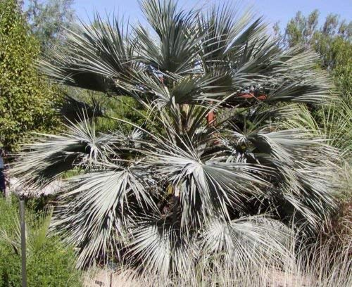 vegherb Brahea Armata Blau Hesper Palm - Sehr kalt Hardy - Seeds!