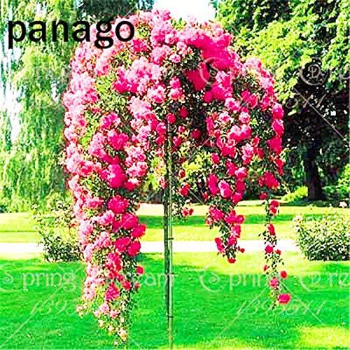 GEOPONICS SEEDS: 100 Stück/bag Rosenbaum, Rosenpflanze, Bonsai Blume, Rosenbaum Pflanze Balkon & amp; Yard vergossen für Hausgarten