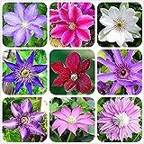 3 piezas de bulbos de clemátide mixtos hermosas flores ornamentales para plantación de balcones al aire libre flores coloridas que añaden color al jardín amado por los jardineros