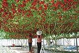 100 Italiano tomate de árbol * HERENCIA RARA !! * Semillas de vida semillas de tomate GIGANTE árbol frutal