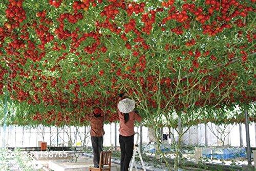 100 italienische Baumtomate * RARE HEIRLOOM !! * SEEDS OF LIFE TOMATE Gigant Baum Fruchtsamen
