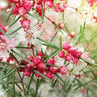 ヒポカリマ ピンク6号鉢【品種で選べる花木苗/1個売り】学名: Hypocalymma /フトモモ科ヒポカリマ属 /原産地:オーストラリア●ヒポカリマはオーストラリア原産の常緑低木です。スラっと伸びた枝に、愛らしいピンクの蕾をたくさんつけます。...