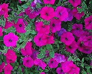 ~ Tidal Wave Purple * Trailing Petunia * 20 Pelleted Seeds