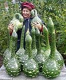 Portal Cool Raras orgánicos vegetal de las calabazas semillas'Cobra' Botella (Lagenaria siceraria) Ucrania
