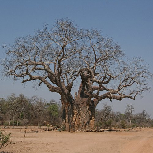 Plant World Seeds - Baobab Tree (adansonia Digitata) Seeds