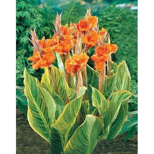 Orange: Canna Seeds, Diy Topfpflanzen, Indoor/Outdoor Topf Samen Keimrate Von 95% Eine Vielzahl Von Farben 20 Teile/beutel G78