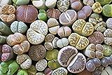 Lebende Steine, Lithops 10 Samen -Mischung