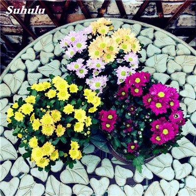 Grosses soldes! 50 Pcs Daisy Graines de fleurs crème glacée parfum de fleurs en pot Chrysanthemum jardin Décoration Bonsai Graines de fleurs 16