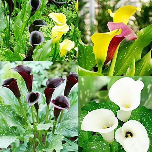 1pcs de la cala de los bulbos (no semillas) 13 tipos coloridos de ...