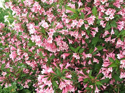 Liebliche Weigelie Weigela florida Pflanze 35-40cm Rosa Weigelie Rarität