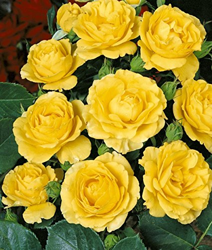 'Zonta-Rose' (R), Beetrose in A-Qualität Wurzelware