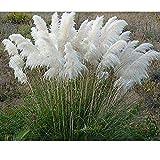 QHYDZ Seeds - 200pcs Semilla del Hierba de Pampa, Vistosa Pampas Grass Semilla Ornamental, Resistente al frío, Semillas de Plantas de Jardín (Blanca)