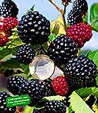 BALDUR-Garten Zuckerbrombeere'Asterina' 1 Pflanze Rubus fruticosus winterhart Brombeerpflanze Brombeerstrauch