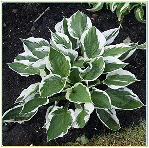 Hosta pianta Pianta da esterno Piante erbacee perenni(Senza semi)arbusti ornamentali, splendidi giardini, fiori estivi-5 Rizoma