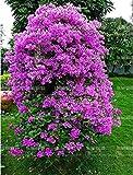 ferry 50pcs bougainvillea bonsai viola bouganville fiore fiori bonsai plantsflowering per impianti giardino di casa: 9