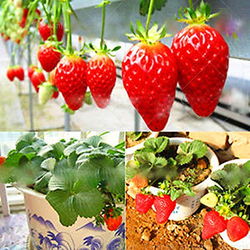 300pcs/bag Climbing Strawberry Seeds red Strawberry Organic Heirloom Fruit Vegetable Seeds Bonsai Potted Plant for Home Garden