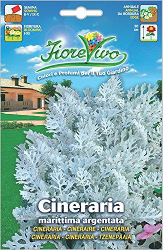 Hortus 60SDFC174 Fiorevivo Cineraria Maritima Argentata, 13x0.2x20 cm